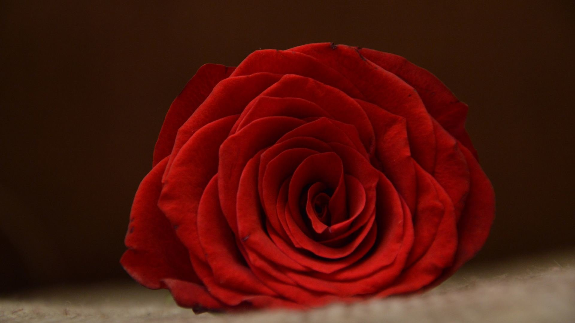 High Resolution Rose Hd 1920x1080 Background ID472154 For Computer