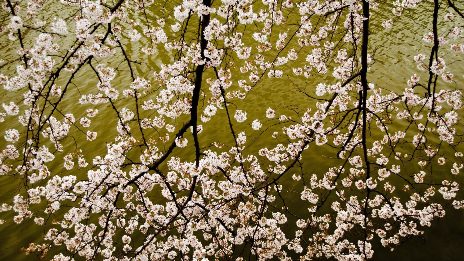 best blossom wallpaper id:332927 for high resolution hd 1600x900
