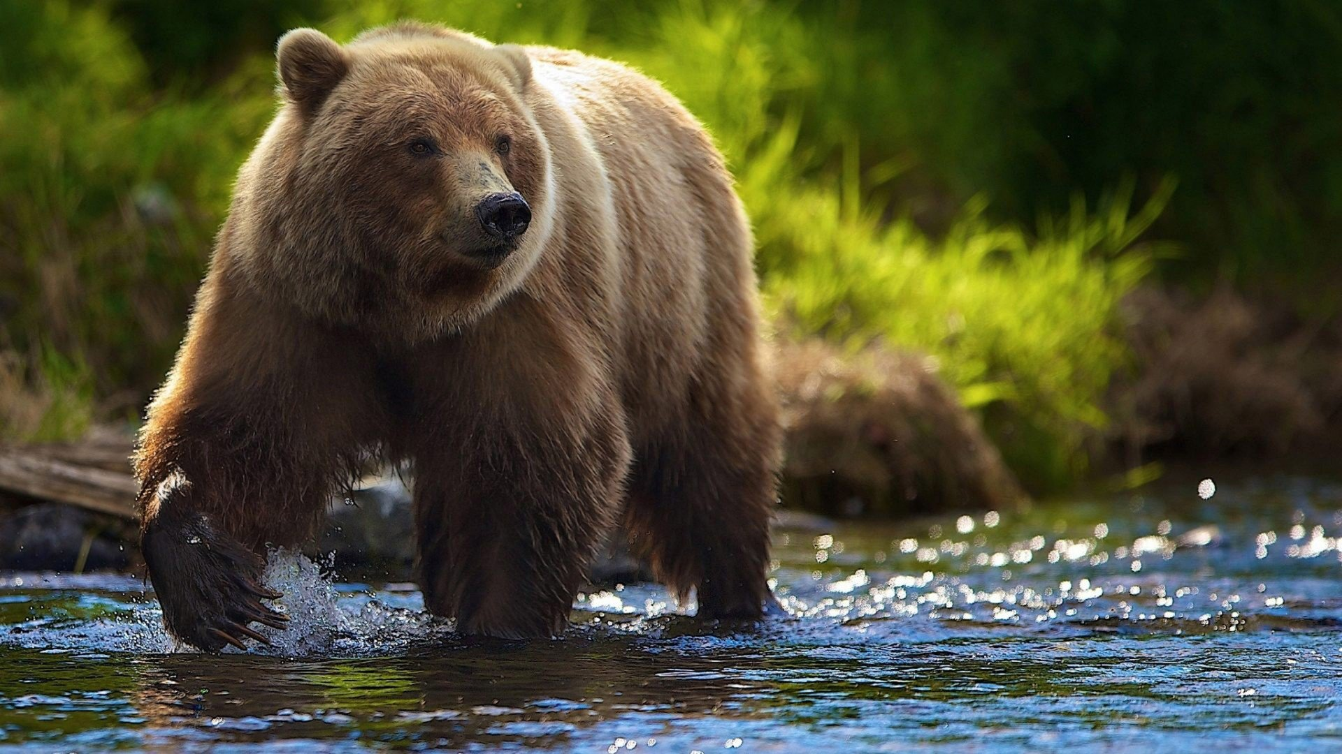 Best Brown Bear wallpaper ID:352699 for High Resolution hd 1080p computer
