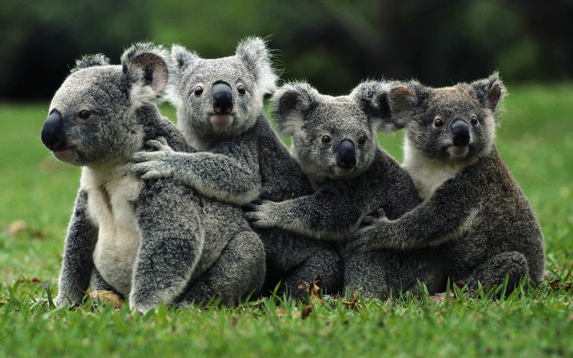 Best Koala wallpaper ID:74239 for High Resolution hd 1920x1200 desktop
