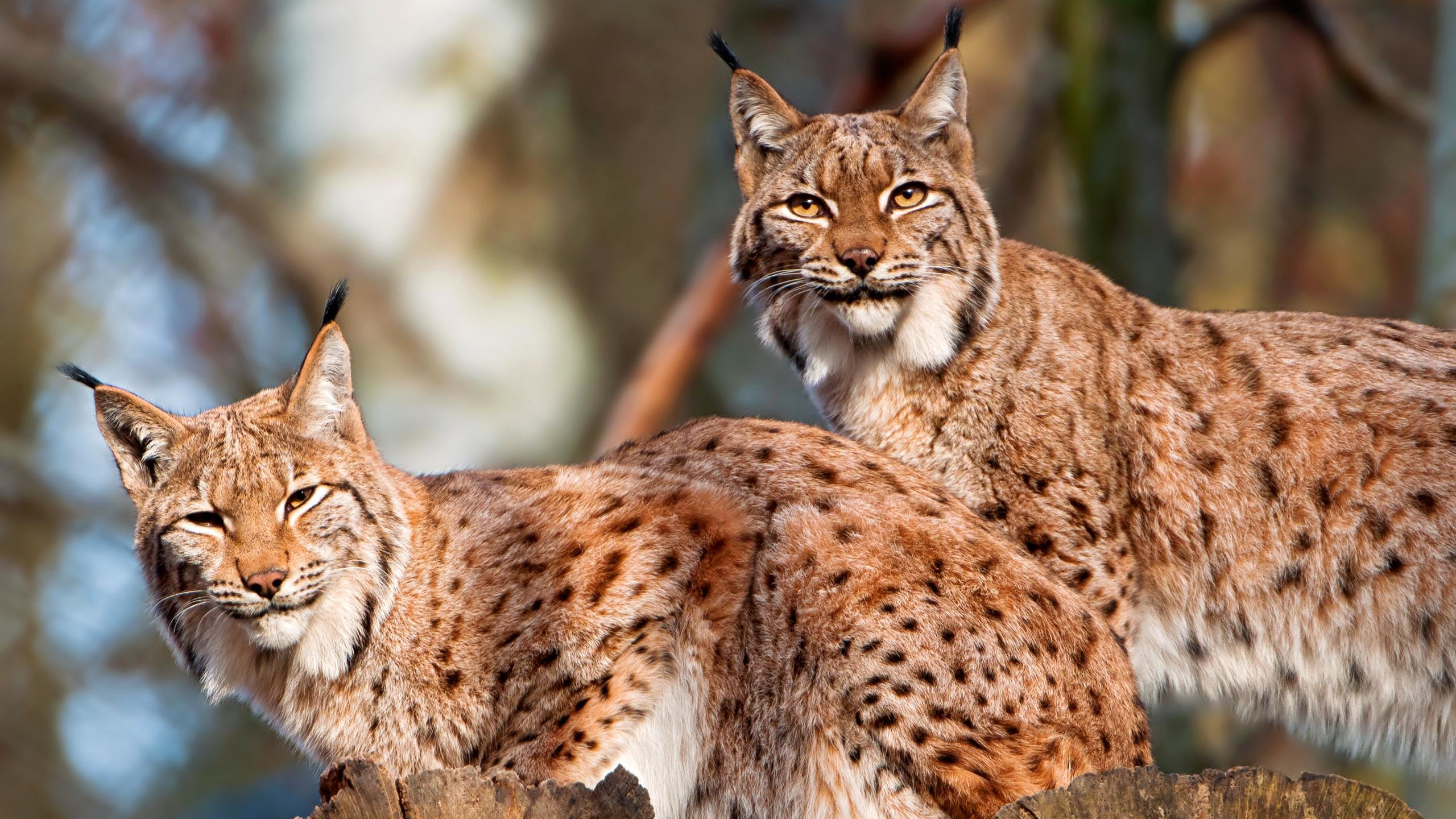 Awesome Lynx free background ID:105925 for hd 2560x1440 PC