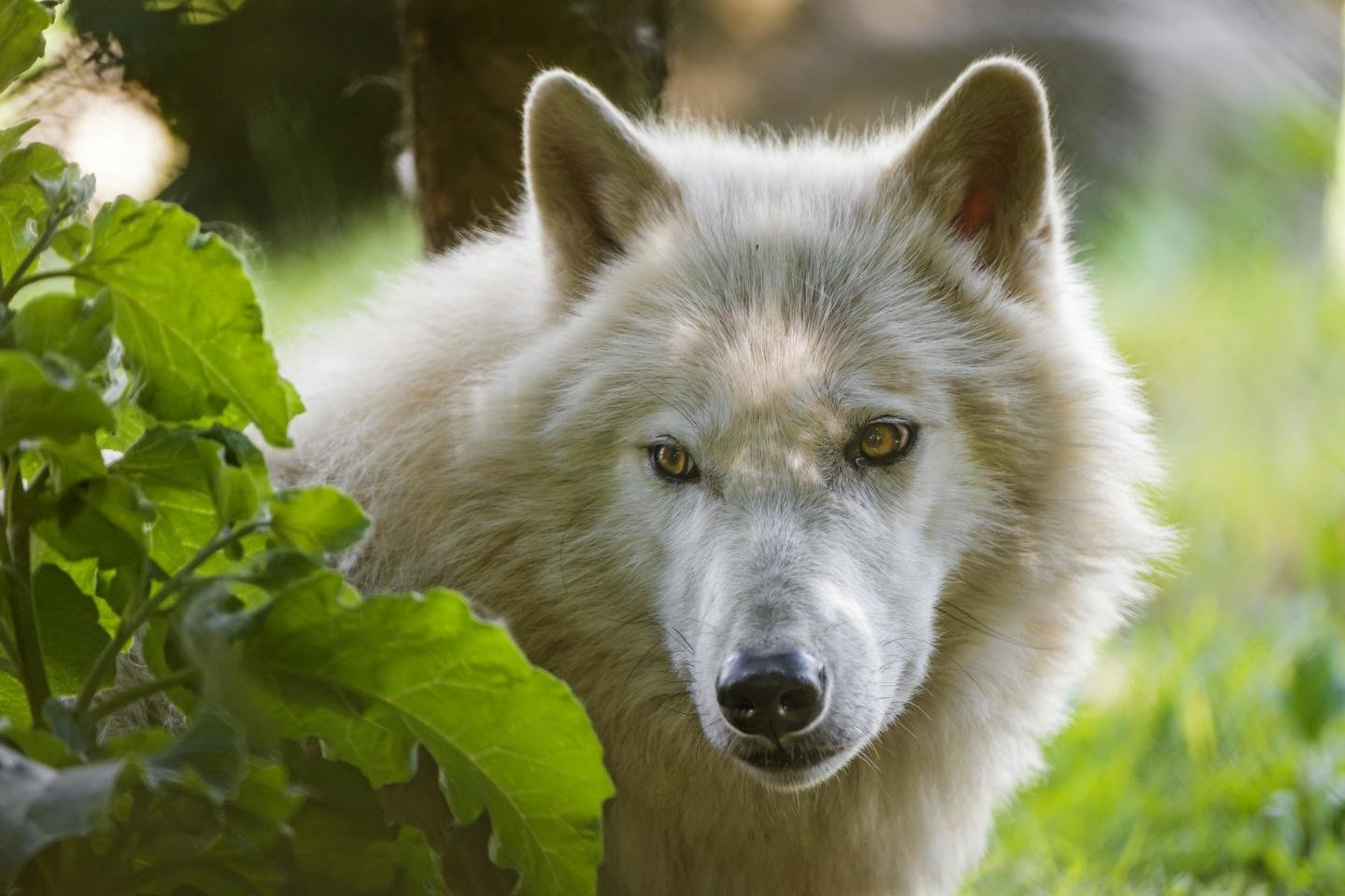 Free White Wolf high quality background ID:118408 for hd 1440x960 PC