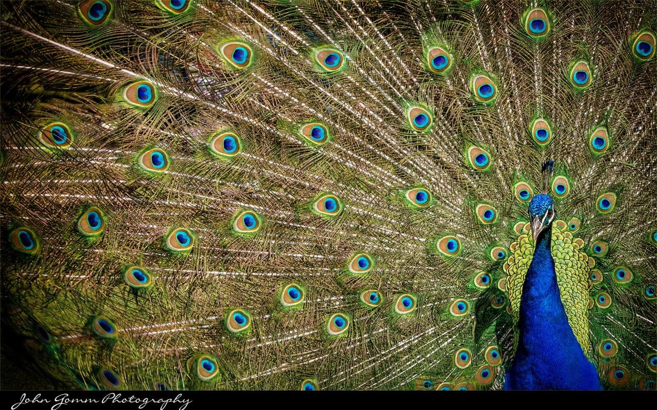 Best Peacock wallpaper ID:151771 for High Resolution hd 1280x800 PC