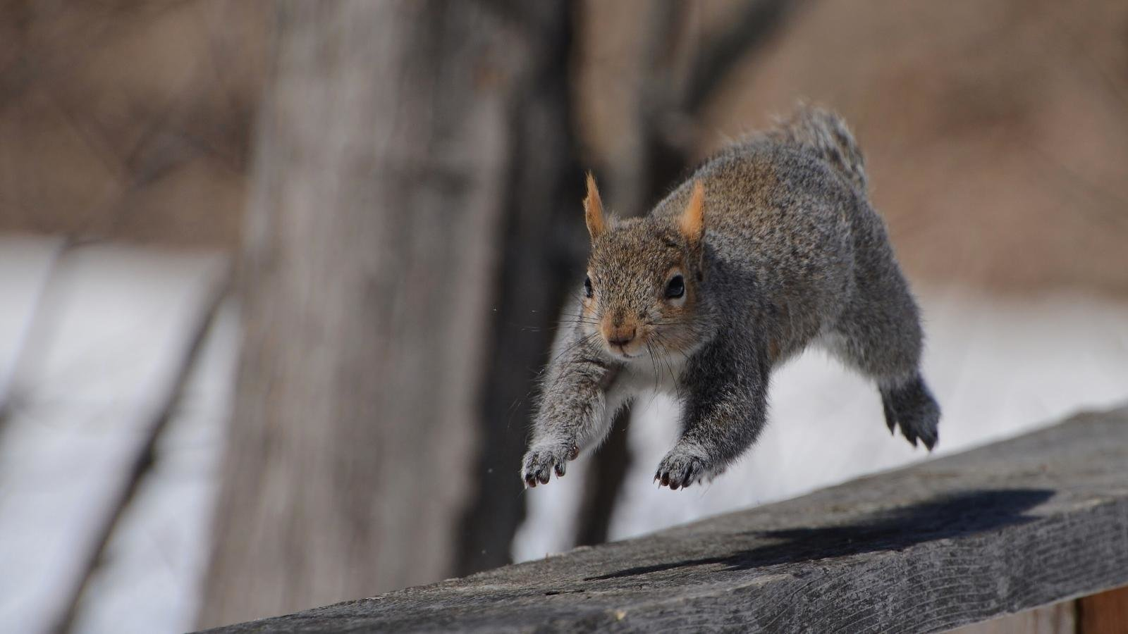 Best Squirrel background ID:311830 for High Resolution hd 1600x900 desktop