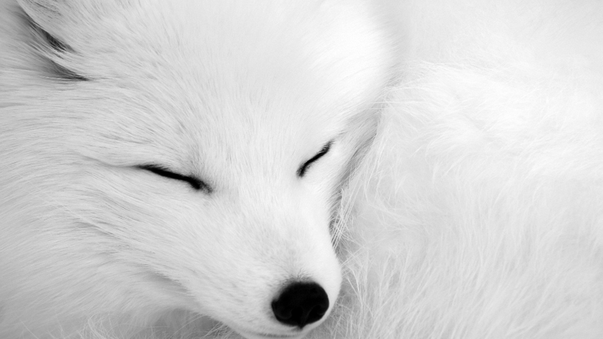 Best Arctic Fox background ID:98781 for High Resolution hd 1080p desktop