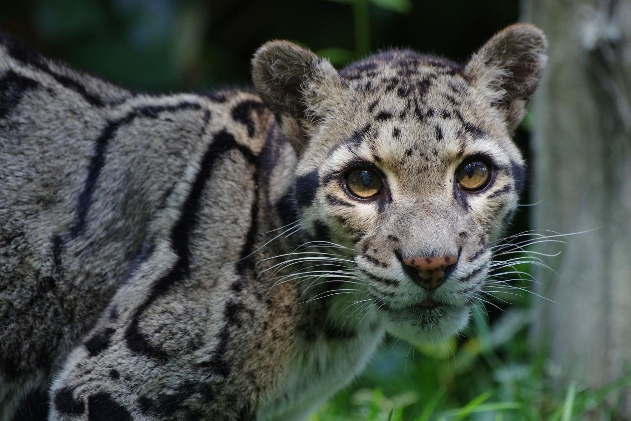 Download hd 1280x854 Clouded Leopard computer wallpaper ID:260363 for free