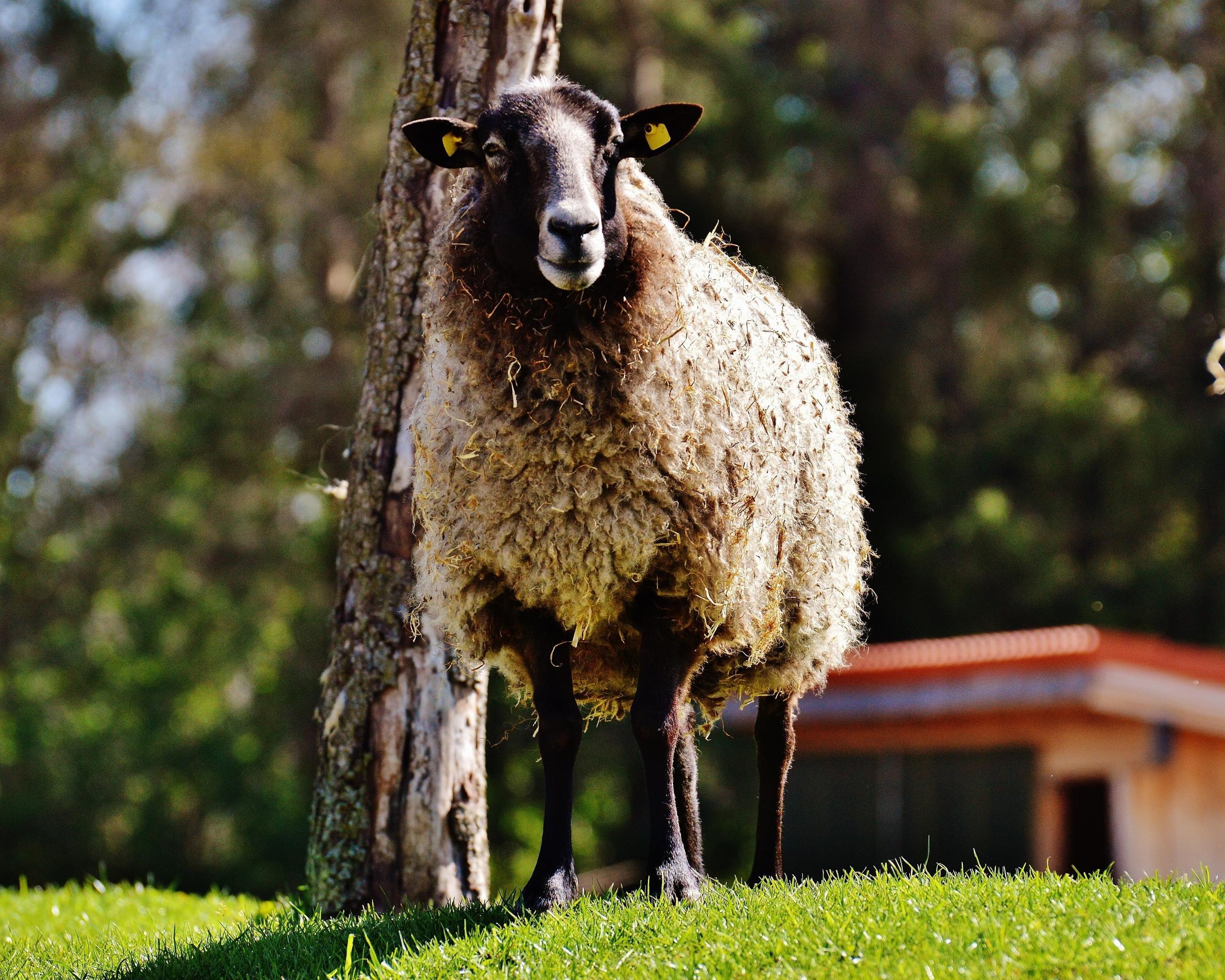 sheep pc download