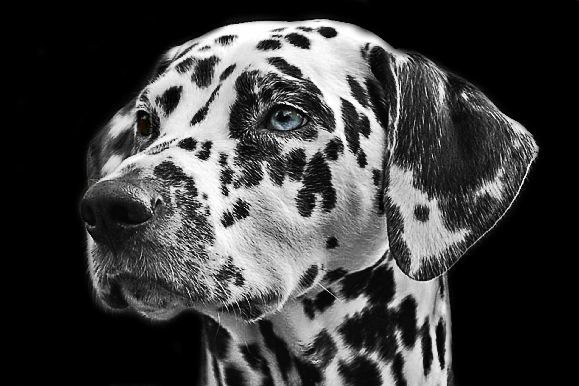 Awesome Dalmatian free background ID:433535 for hd 1920x1280 desktop