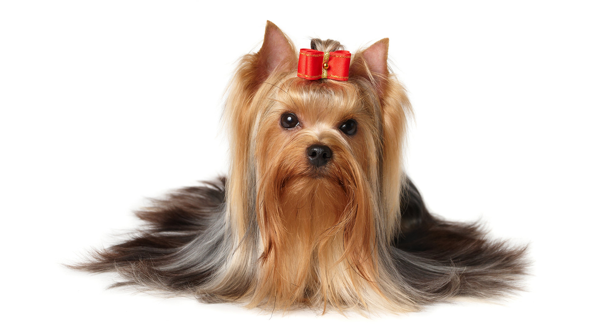 Free download Yorkshire Terrier background ID:110970 full hd 1080p for computer