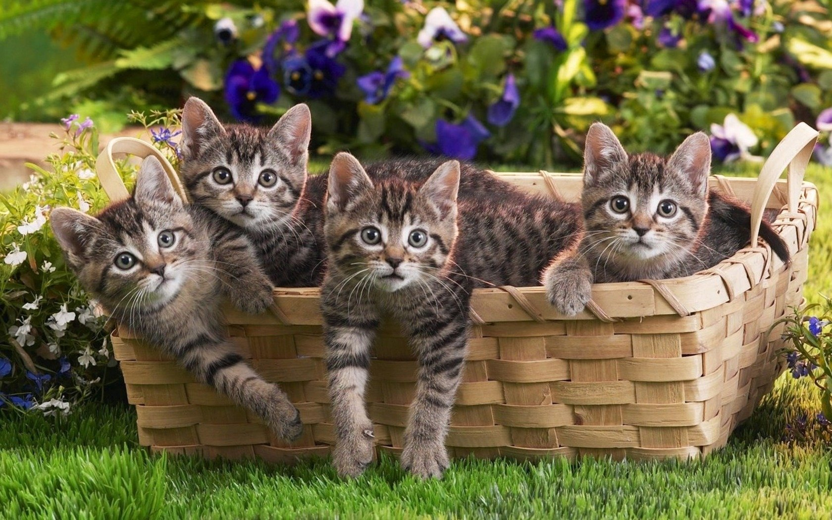 Free download Kitten background ID:426519 hd 1680x1050 for computer