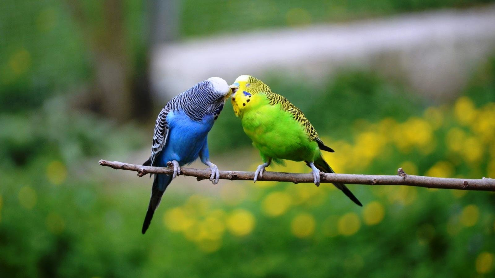 Awesome Budgerigar free background ID:32588 for hd 1600x900 PC