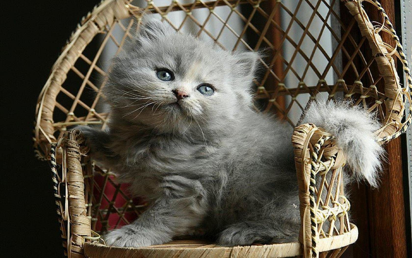 Best Kitten wallpaper ID:425172 for High Resolution hd 1680x1050 computer
