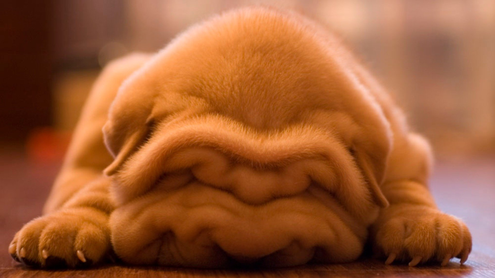 Download hd 1080p Shar Pei desktop background ID:376278 for free