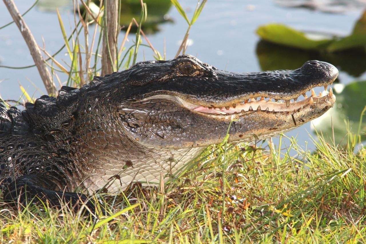 Best Alligator background ID:59660 for High Resolution hd 1280x854 PC