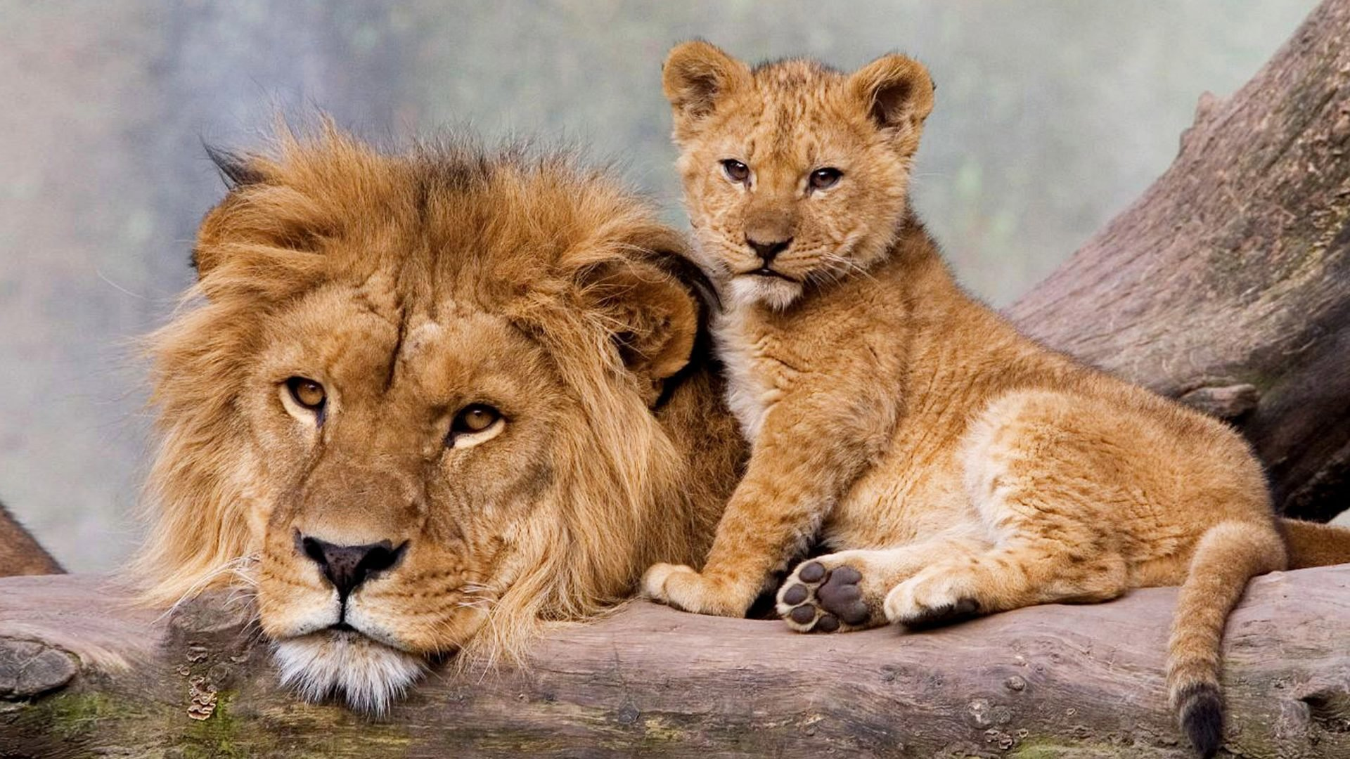 Download full hd Baby Animal (cub) PC background ID:255377 for free
