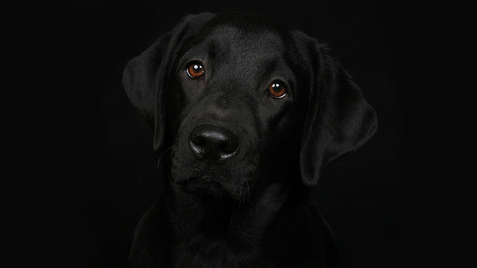 Best Labrador Retriever background ID:47300 for High Resolution 1080p PC