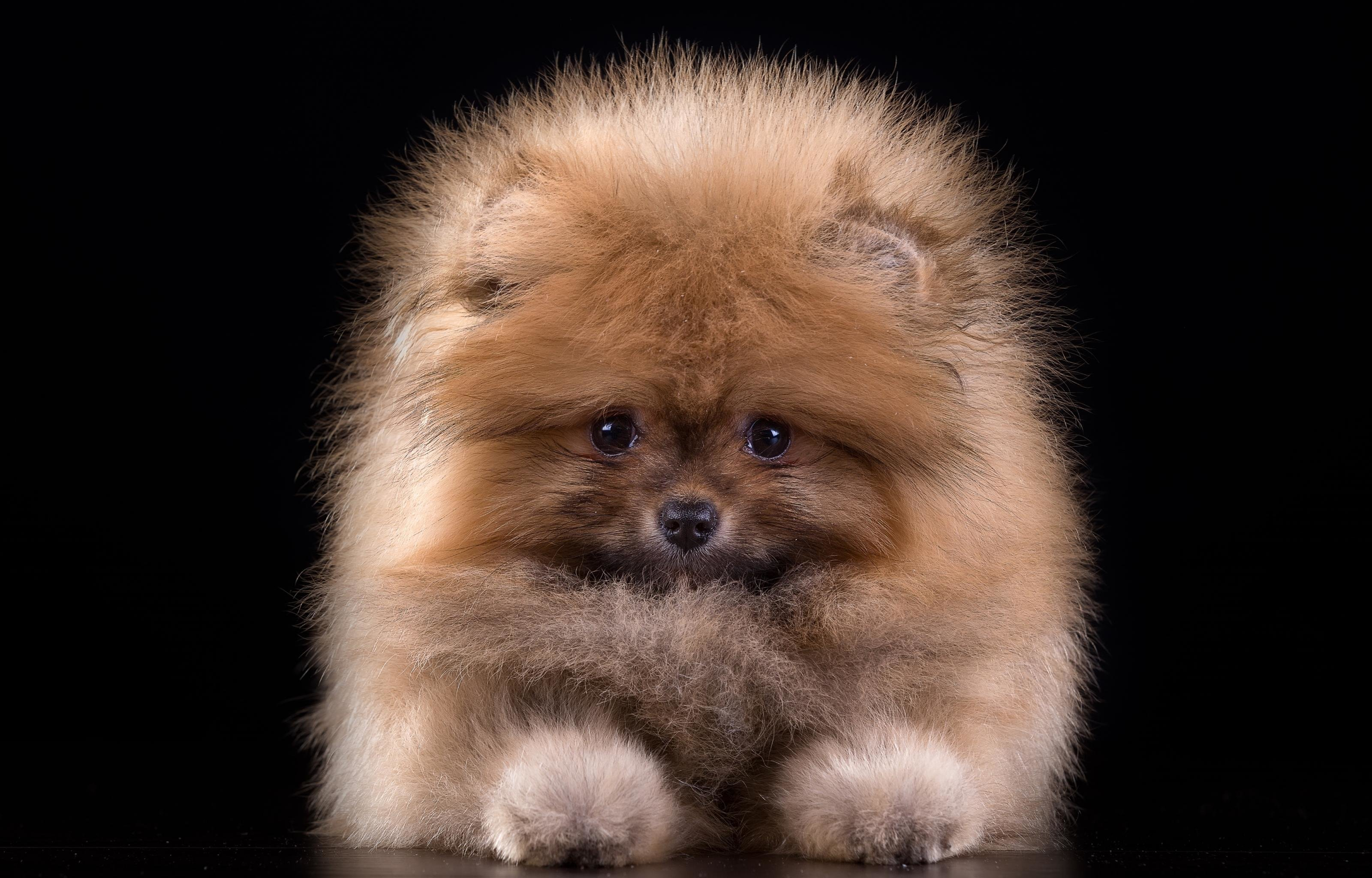 High resolution Pomeranian hd 3200x2048 background ID:184963 for PC