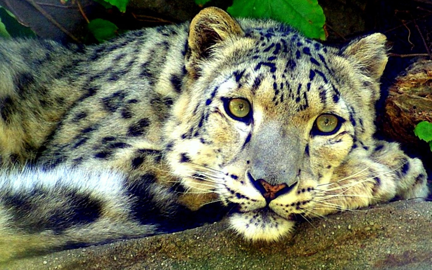 High resolution Snow Leopard hd 1440x900 background ID:34481 for computer