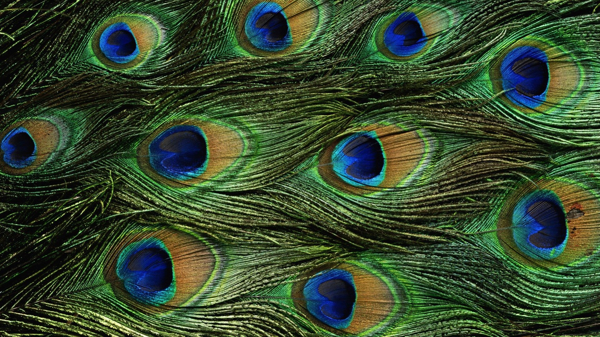 Best Peacock wallpaper ID:151786 for High Resolution hd 1080p PC