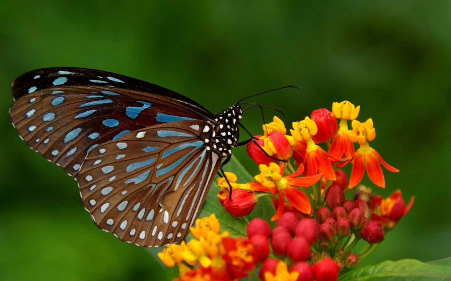 Free download Butterfly wallpaper ID:168185 hd 1440x900 for desktop