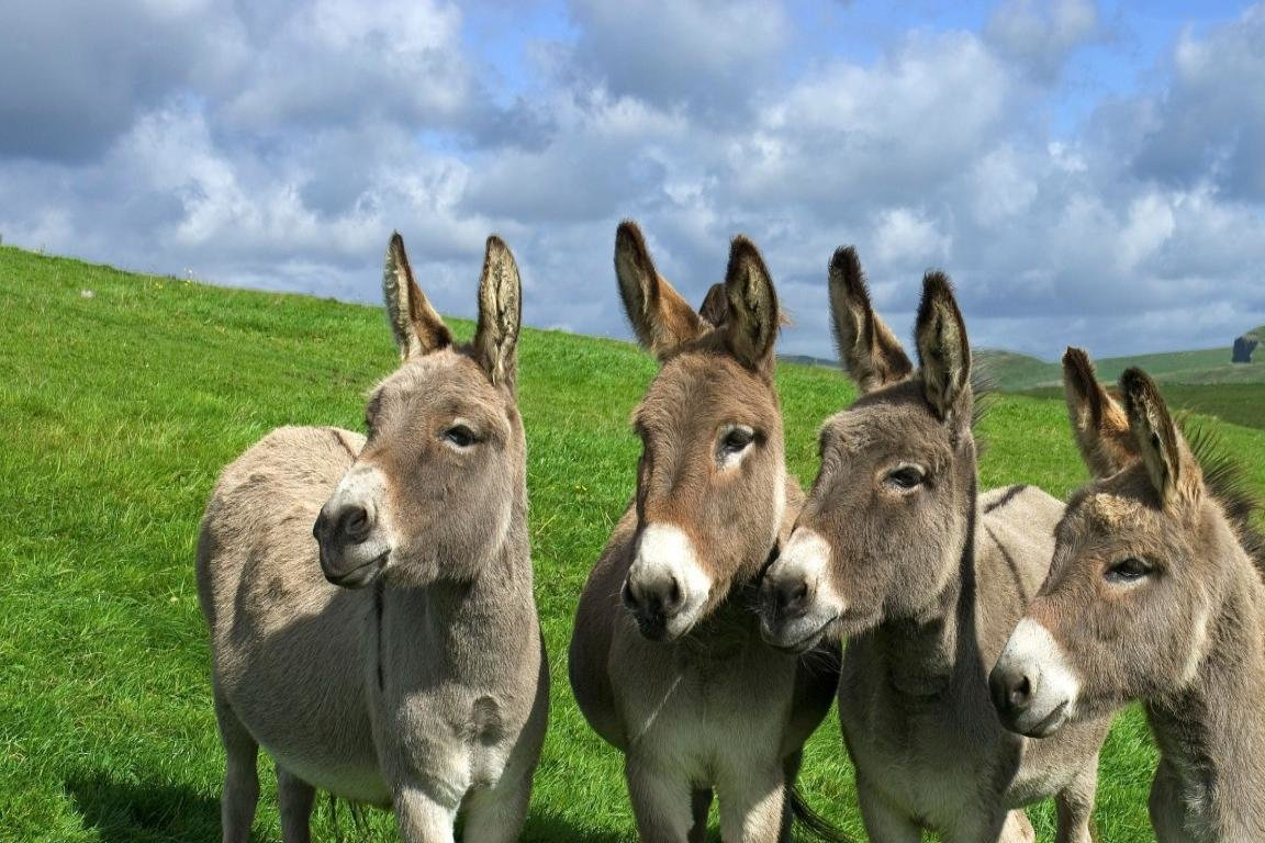 Best Donkey background ID:194064 for High Resolution hd 1152x768 computer