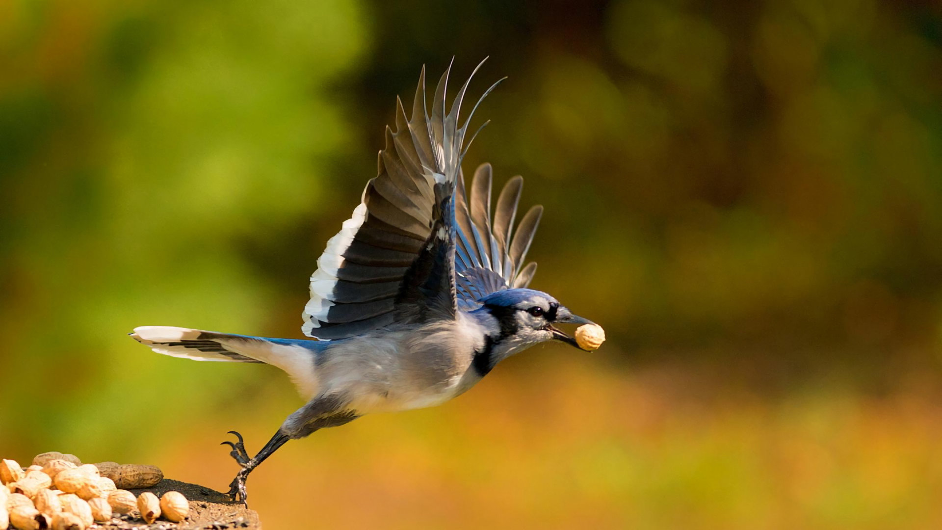 Awesome Blue Jay free wallpaper ID:158379 for full hd 1080p PC