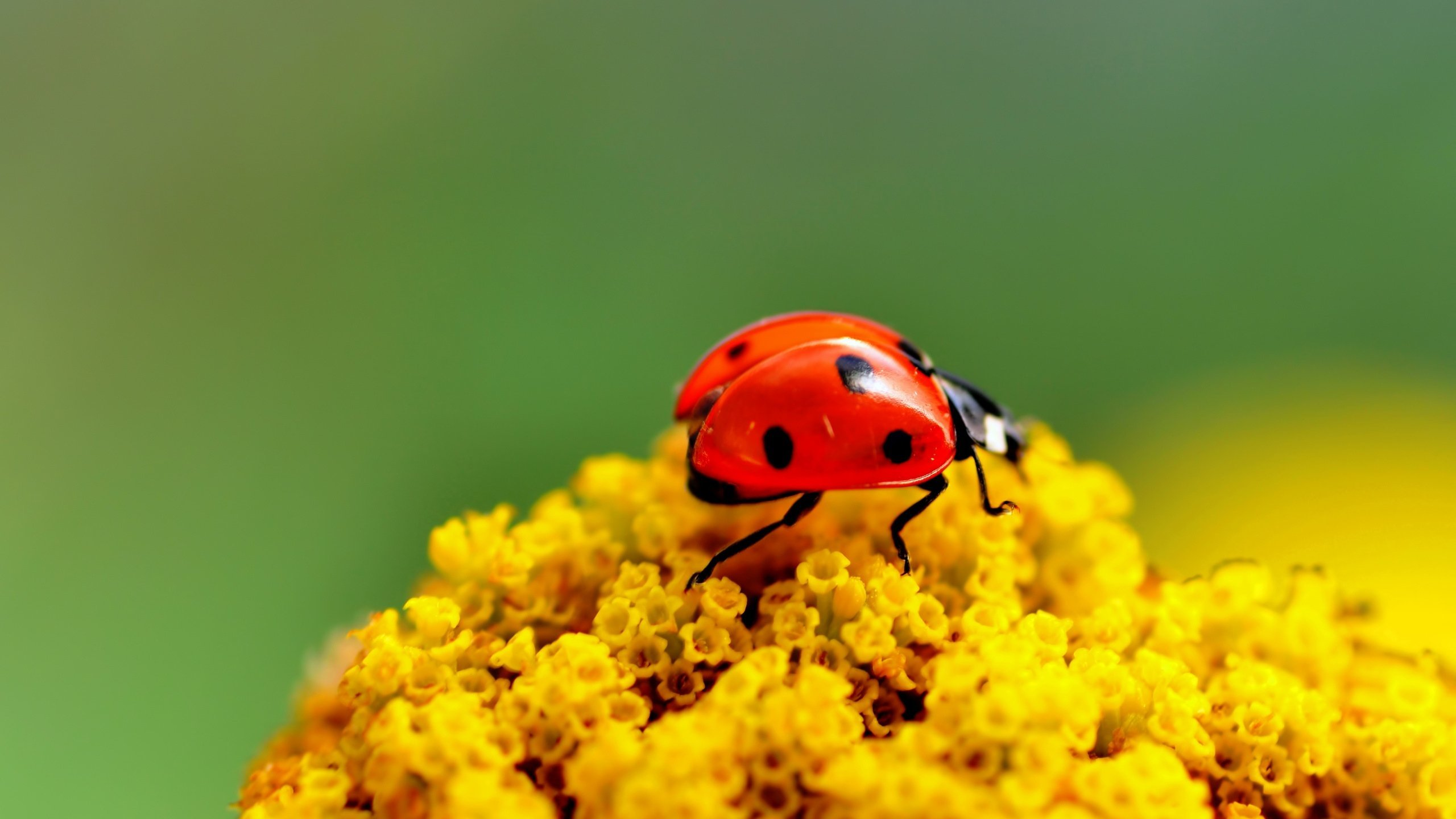 Awesome Ladybug free wallpaper ID:270420 for hd 2560x1440 computer