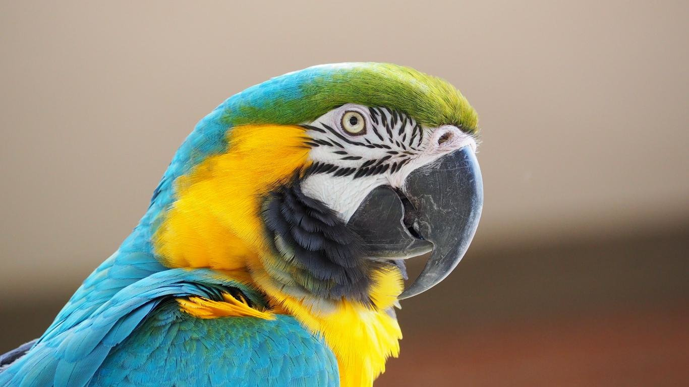 High resolution Macaw 1366x768 laptop background ID:46508 for computer