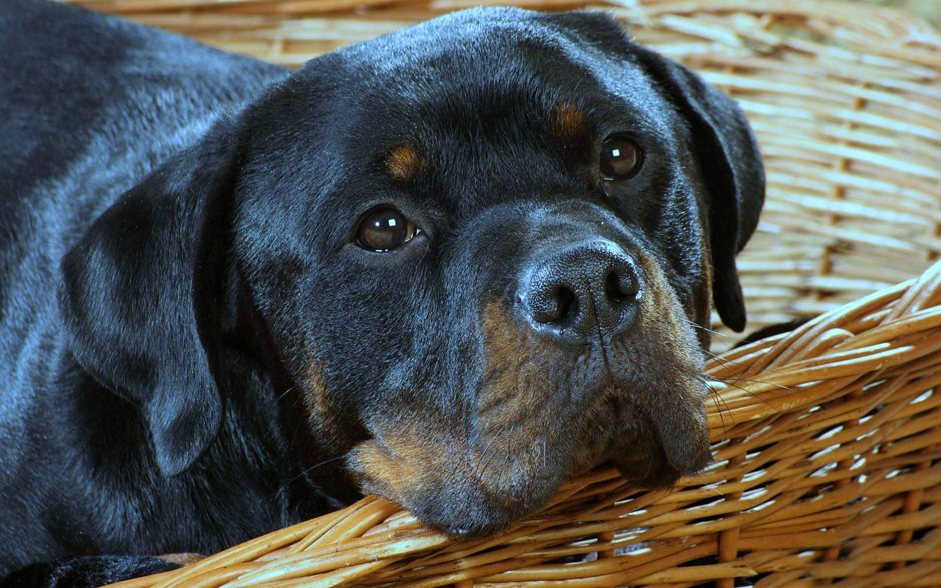 Awesome Rottweiler free wallpaper ID:68588 for hd 1920x1200 computer