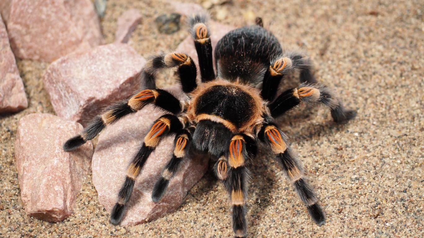 Download laptop Tarantula desktop background ID:409558 for free