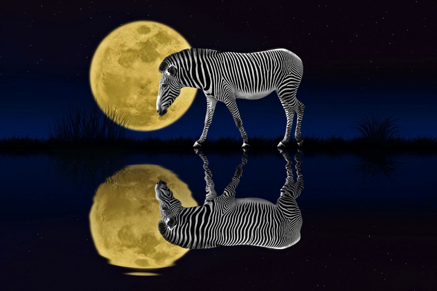 Awesome Zebra free background ID:73743 for hd 1440x960 desktop