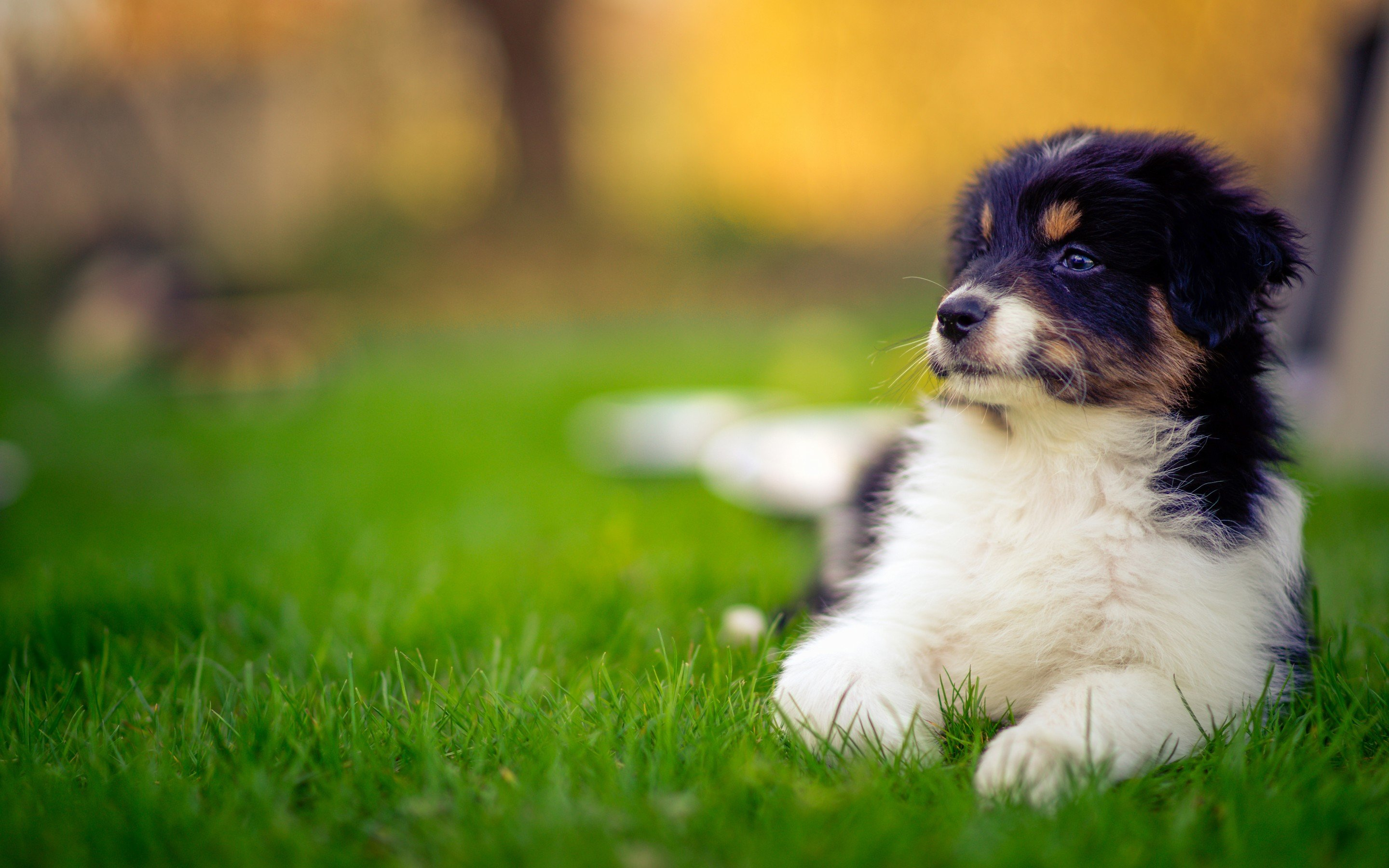 Download hd 2880x1800 Australian Shepherd computer background ID:118724 for free