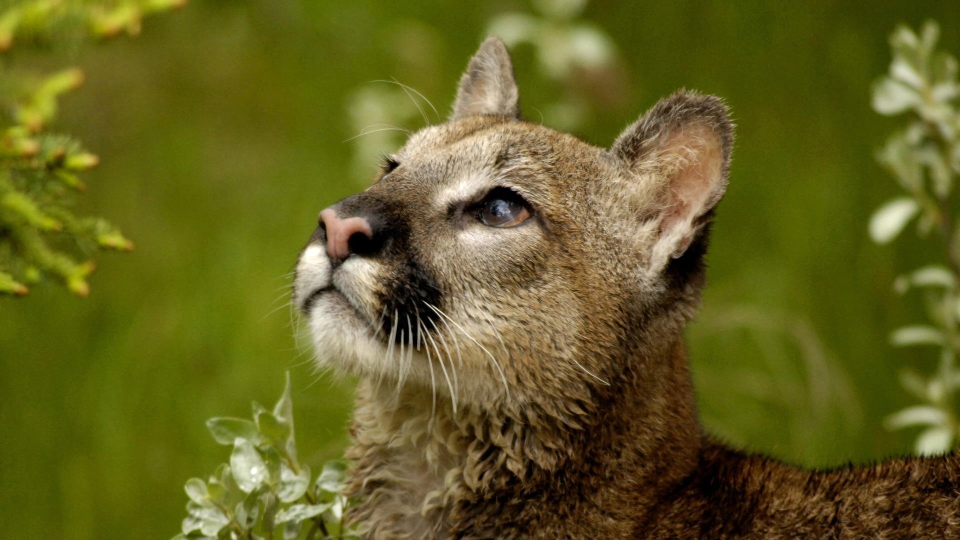 Best Cougar background ID:81775 for High Resolution full hd 1080p computer