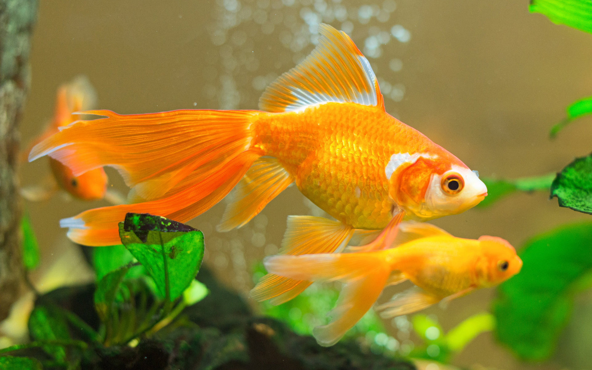 Best Goldfish wallpaper ID:464107 for High Resolution hd 1920x1200 computer