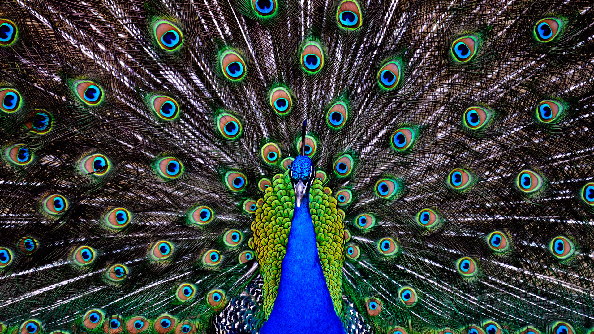 Download hd 1920x1080 Peacock computer background ID:151785 for free