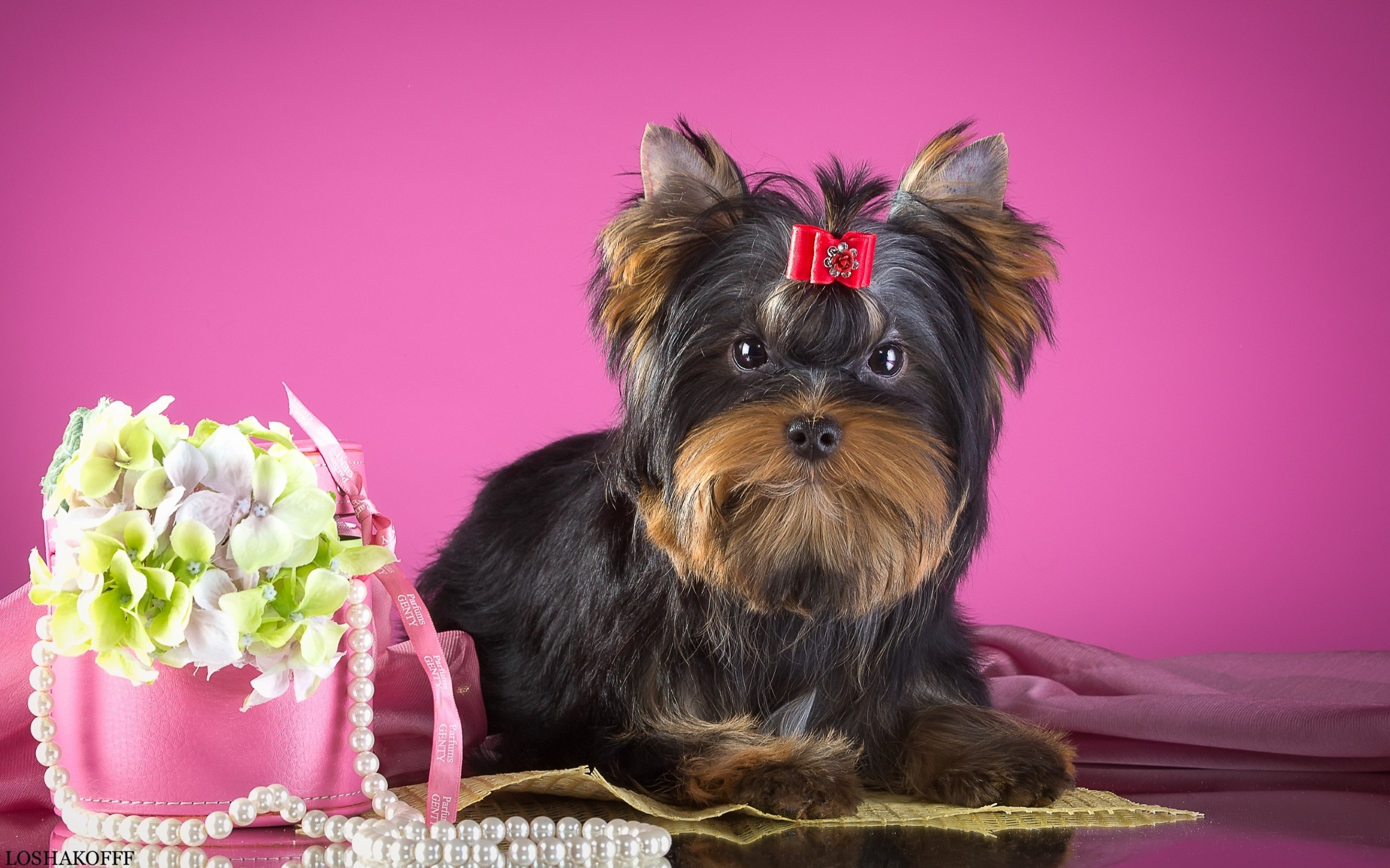 Best Yorkshire Terrier background ID:110968 for High Resolution hd 2880x1800 computer
