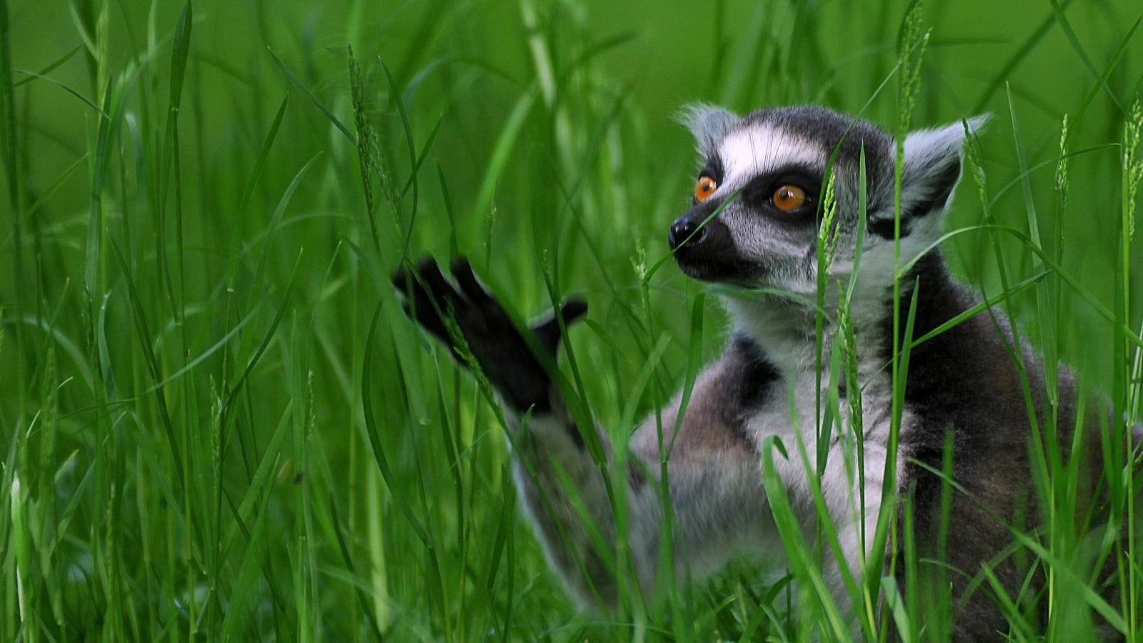 Free download Lemur wallpaper ID:53184 hd 1600x900 for PC