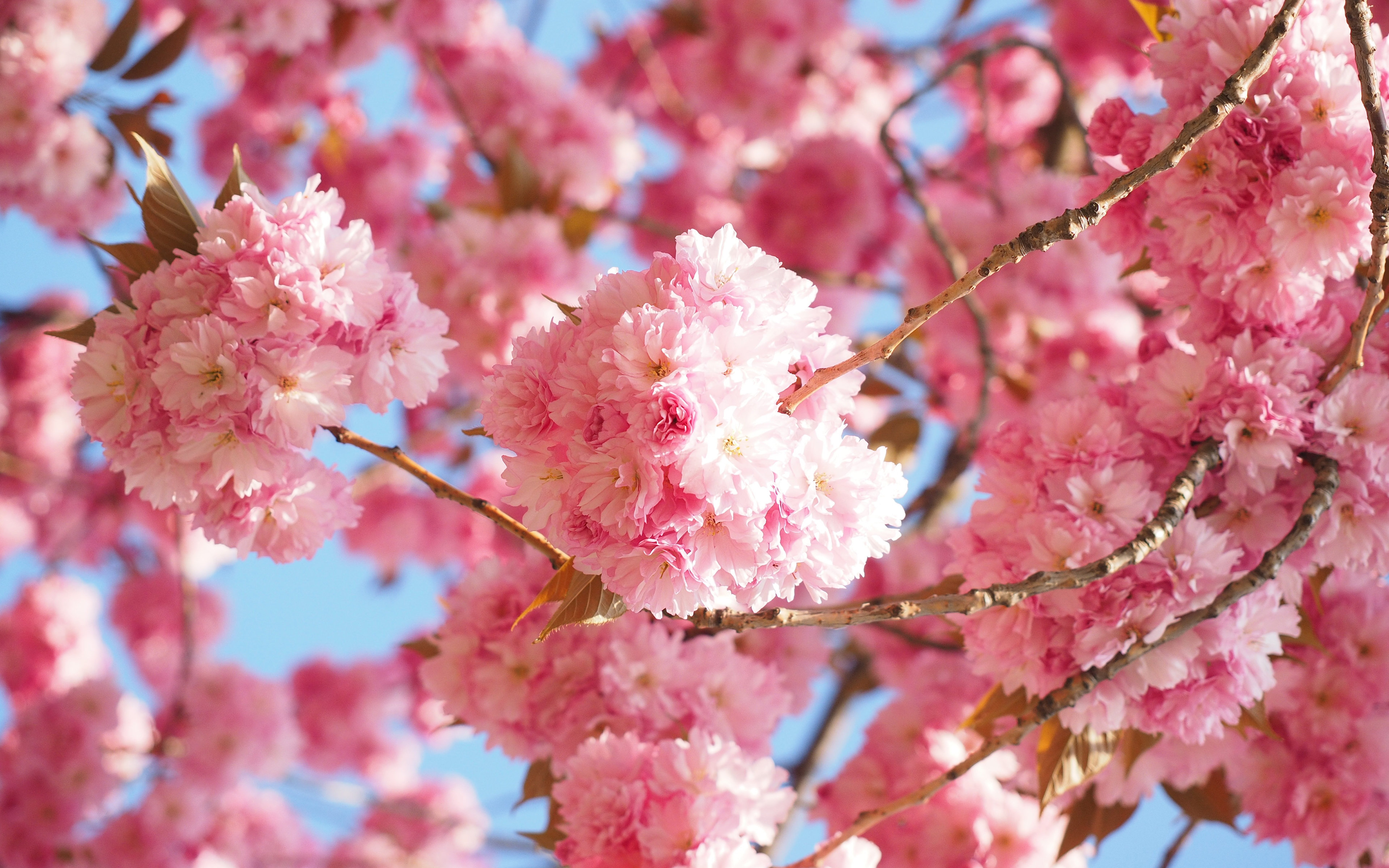 Sakura tree (Cherry Blossom) wallpapers HD for desktop ...