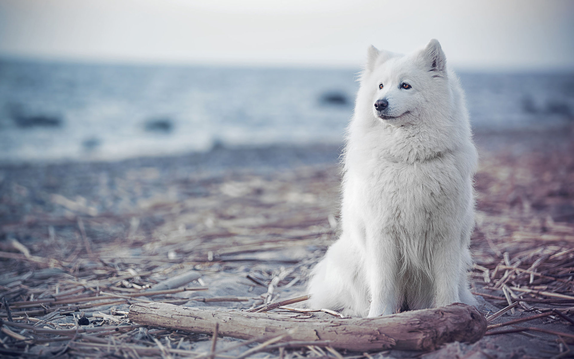 Download hd 1920x1200 Samoyed PC background ID:63152 for free