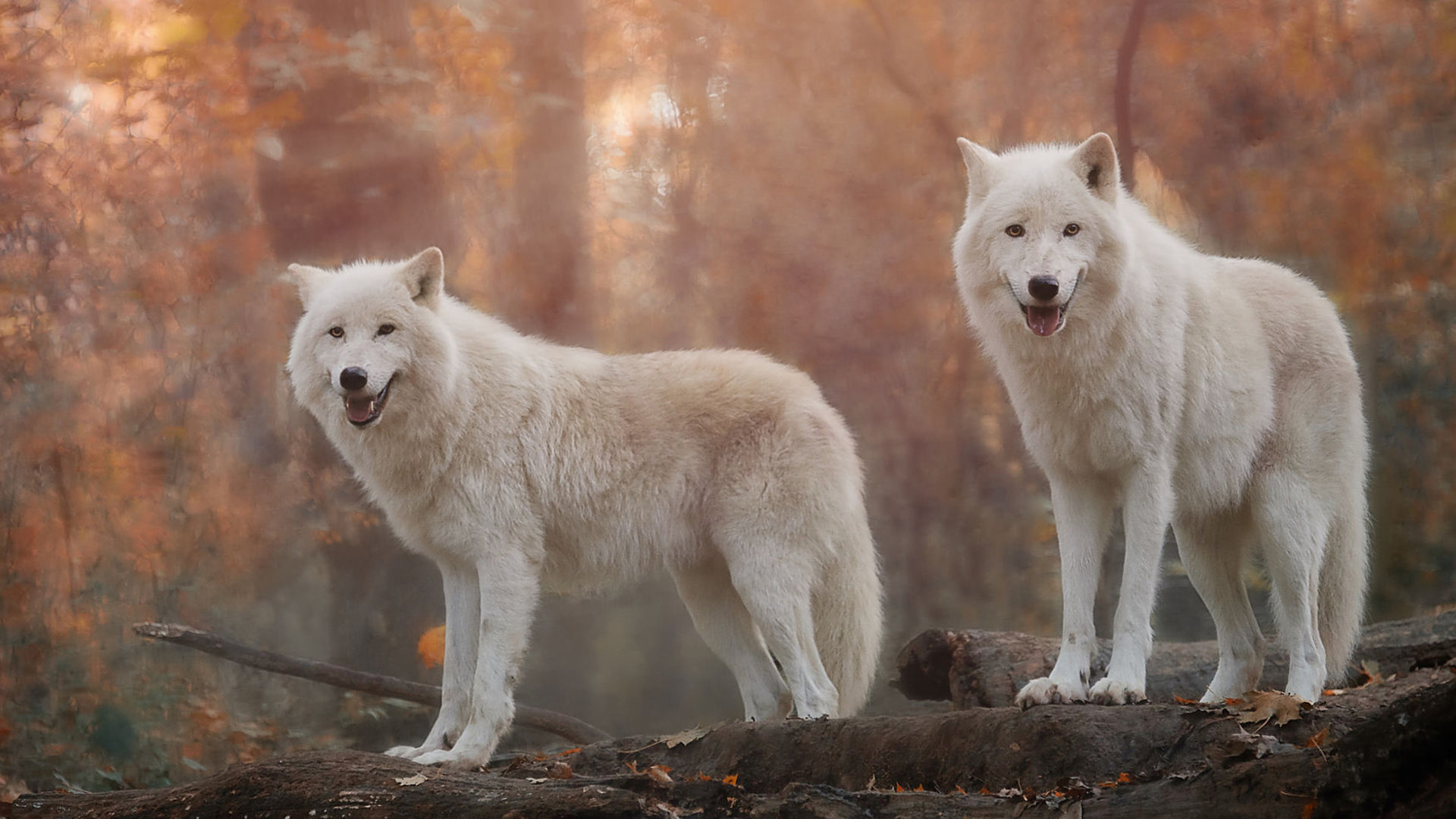 Download 1080p White Wolf computer wallpaper ID:117740 for free
