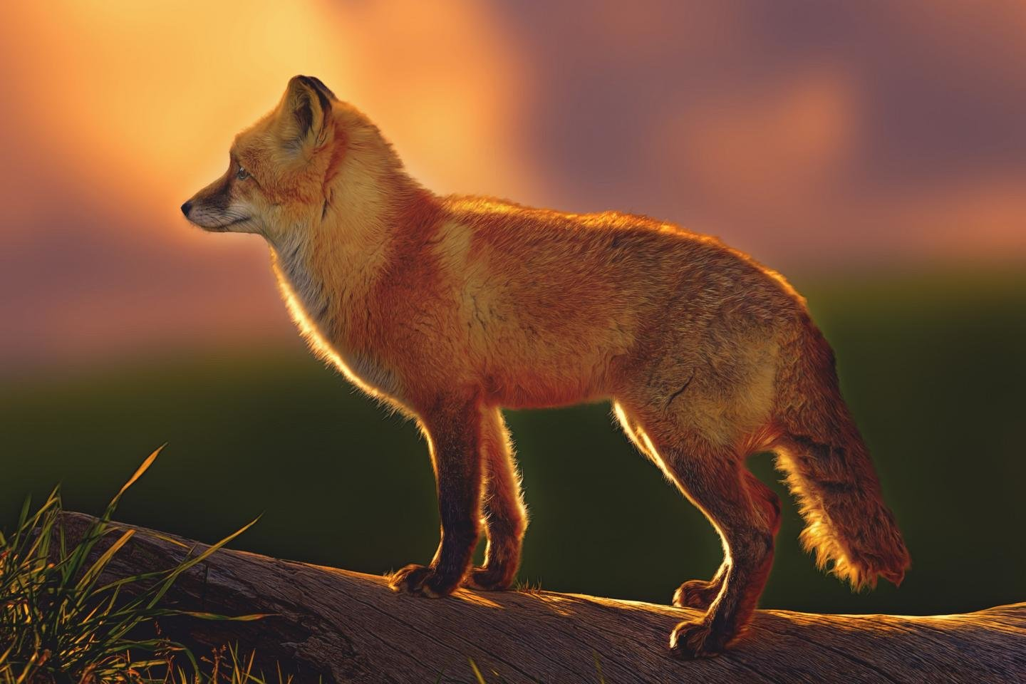 Best Red Fox background ID:58663 for High Resolution hd 1440x960 desktop