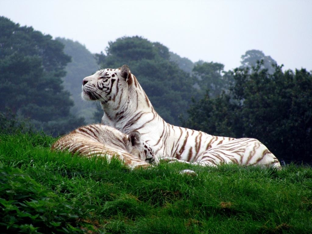 Best White Tiger wallpaper ID:174916 for High Resolution hd 1024x768 computer