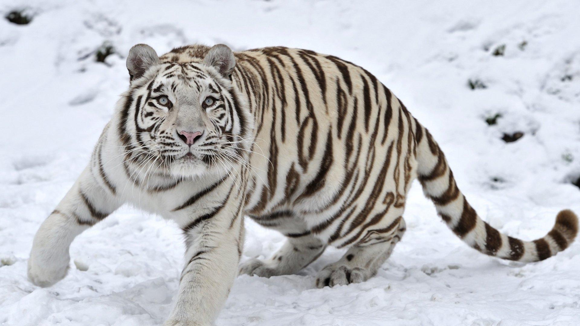 download hd 1080p white tiger desktop wallpaper id174979