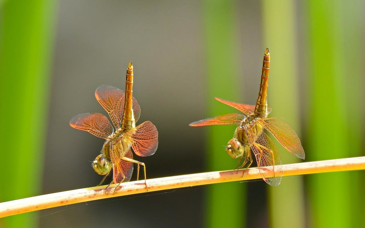 Awesome Dragonfly free wallpaper ID:467606 for hd 1280x800 desktop