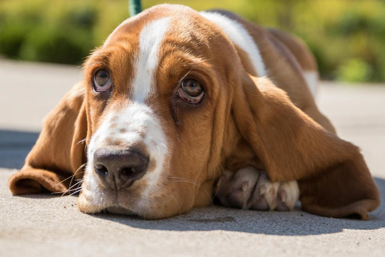 Awesome Basset Hound free wallpaper ID:214123 for hd 1280x854 desktop