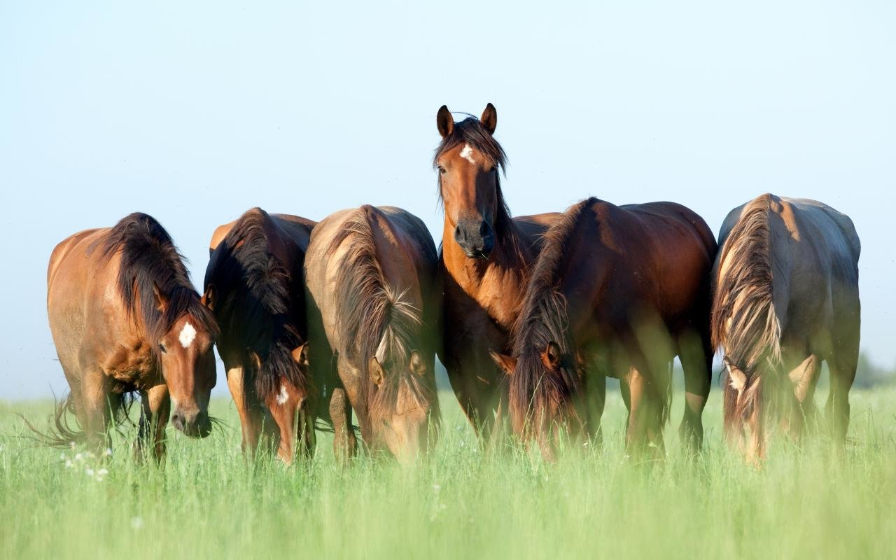 Free download Horse wallpaper ID:24112 hd 1280x800 for desktop