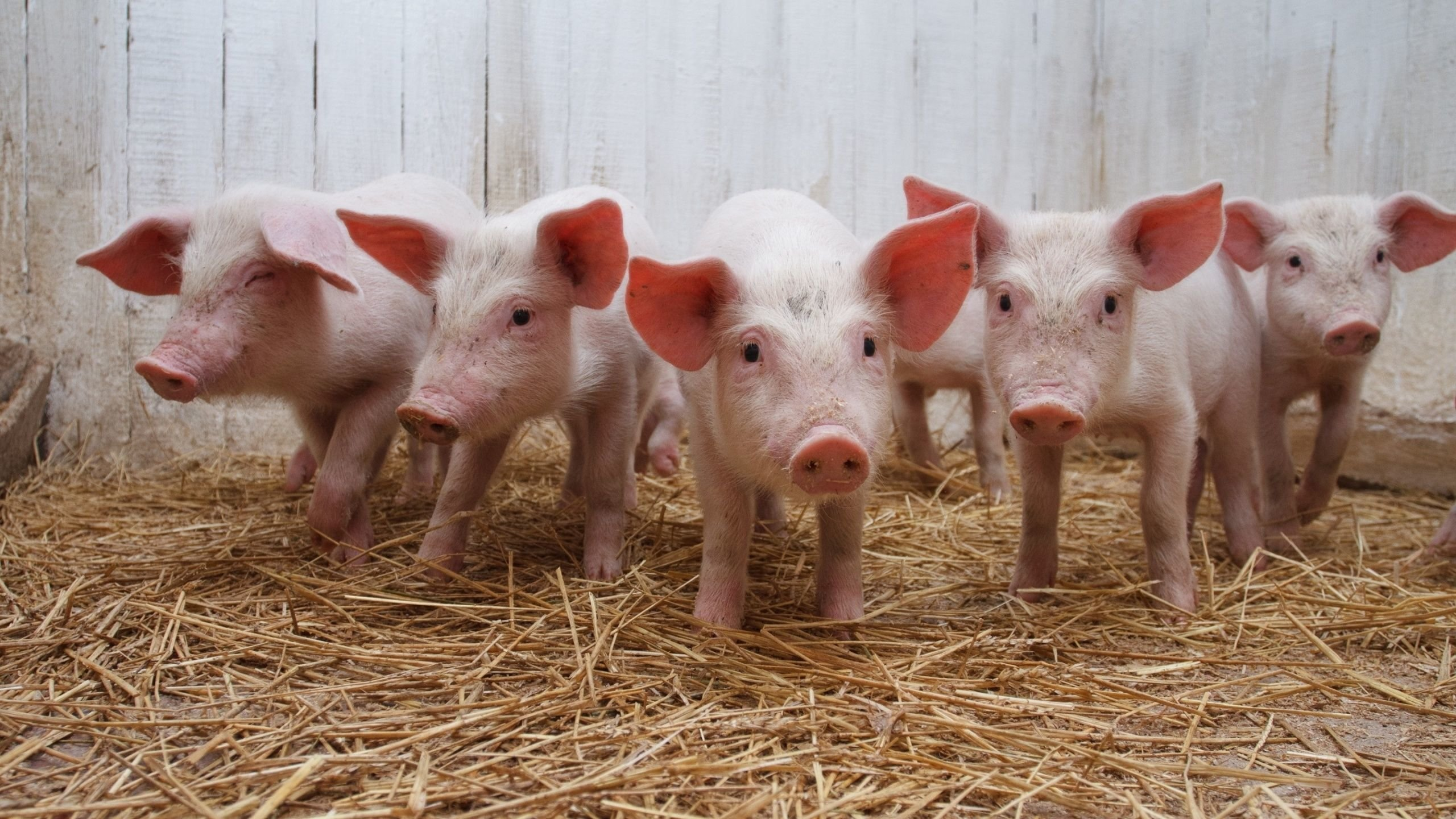 Awesome Pig free wallpaper ID:452570 for hd 2560x1440 PC