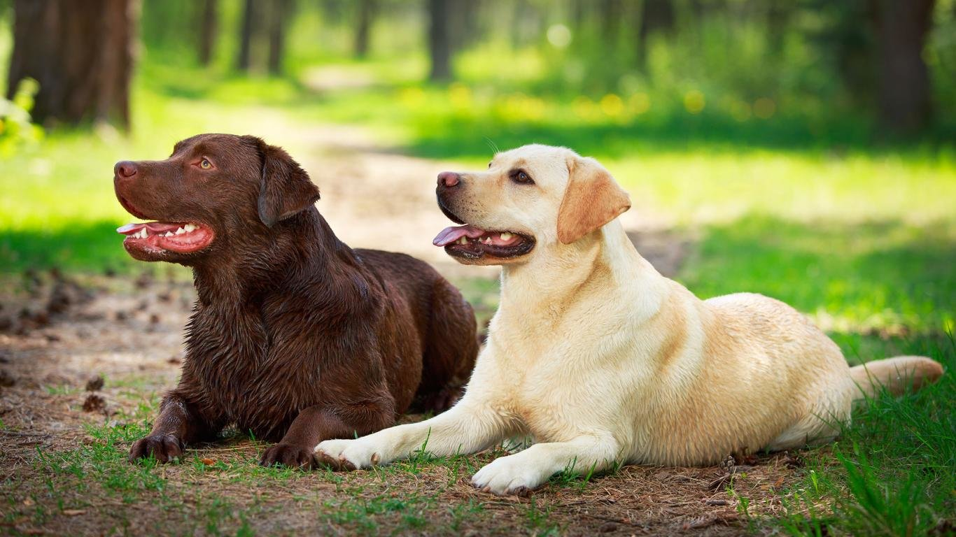 High resolution Labrador Retriever laptop wallpaper ID:47335 for PC