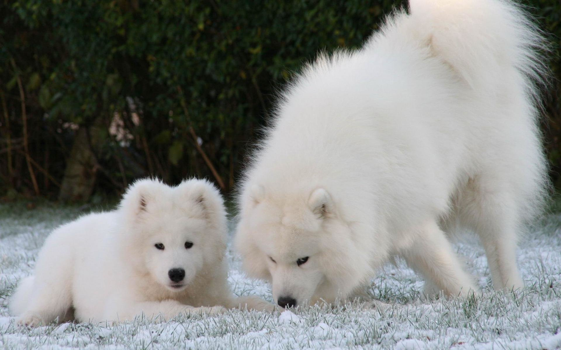 Free Samoyed high quality background ID:63151 for hd 1920x1200 computer
