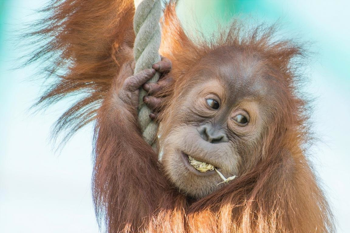 Best Orangutan background ID:70053 for High Resolution hd 1152x768 desktop